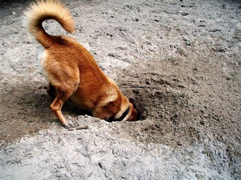 why do dogs dig holes in the backyard how to keep dogs from digging why dogs dig holes