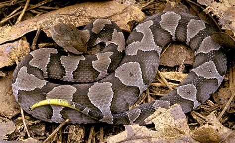 triangle pattern snake venomous pests inspectors beware internachi