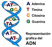 cadena de adn bases nitrogenadas acidos nucleicos qu 237 mica y algo m 225 s