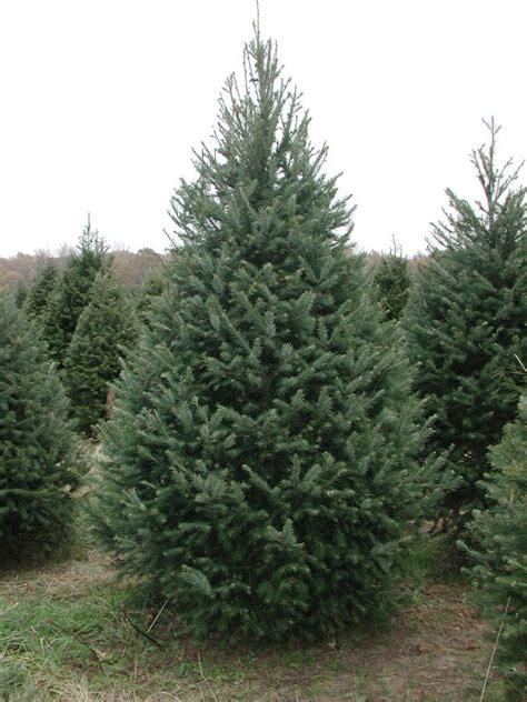 douglas fir christmas tree care douglas fir pseudotsuga menziesii var glauca