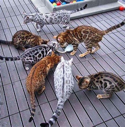 Do Bengal Cats Shed by 25 Melhores Ideias Sobre Bengal Cat Temperament No Gatinhos Bengal 234 S E Gatos Beb 234