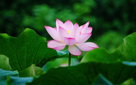 lotus flower desktop wallpapers animals wallpapers flowers wallpapers