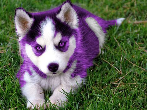 5 in 1 puppy purple husky puppy by hansen95 on deviantart