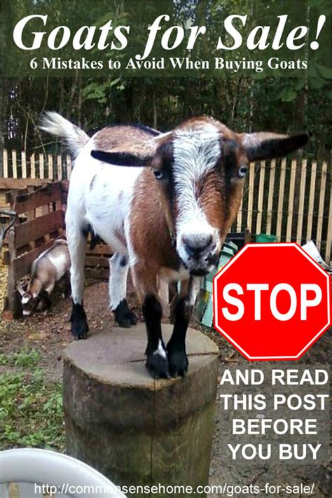 buy a fan near me goats for sale 6 mistakes to avoid when buying goats