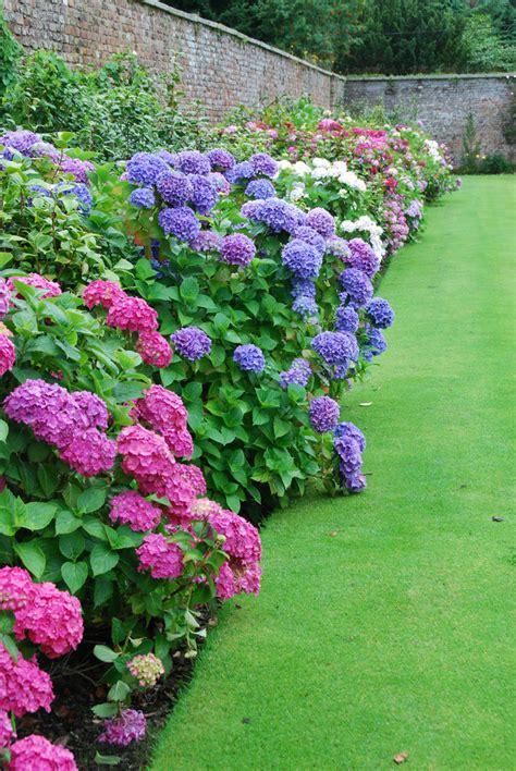 hydrangea border at the powerscourt gardens scribbles231
