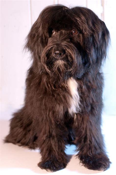 haircuts for tibetan terriers 39 best tibetan terrier love images on pinterest