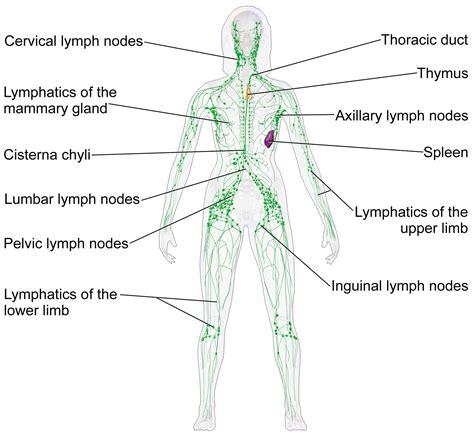 vasi linfatici sistema linf 193 tico explicado f 193 cil anatom 237 a y fisiolog 237 a