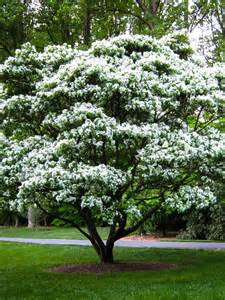 Flower Tree Pictures - buy flowering trees online the tree center