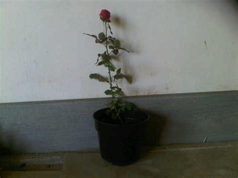 tanaman mawar merah red rose bibitbungacom