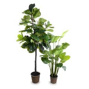 7 5 fiddle leaf fig tree new growth designs