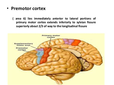 primary motor cortex function and location frontal lobe functions and assessmeny 20th july 2013