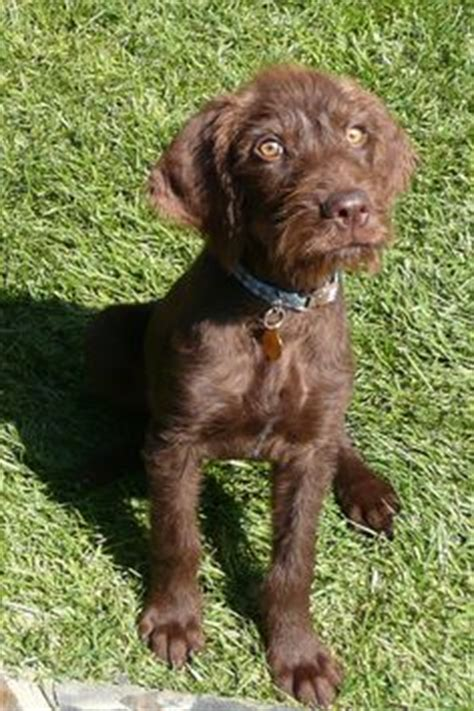 Pudelpointer Shedding by 1000 Images About Pudelpointers On Poodles