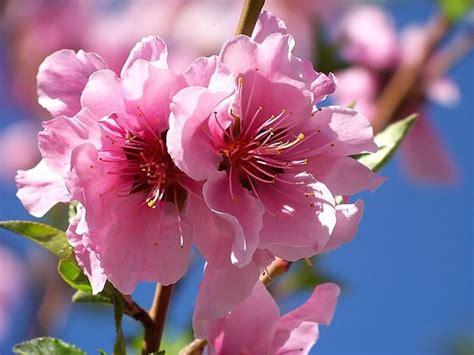 delaware state flower peach blossom delaware state flower flowers pinterest