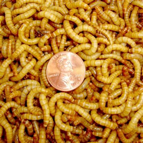 2000ct live mealworms pet food for reptile birds and