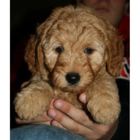 Mini Goldendoodles Colorado River Doodles Home Raised