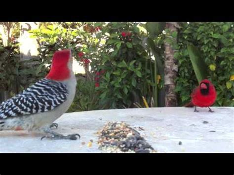 florida backyard birds south florida backyard birds in royal palm beach youtube