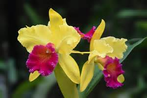 Wild Rose Flower - free photo cattleya orchid plant nature free image