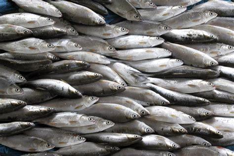 lebih banyak ikan di laut atau bintang di langit kisah ikan jenis apa yang banyak dikonsumsi bangsa indonesia di
