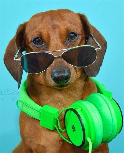 puppy with headphones in shades and headphones cool kid animaux kid cool and shades