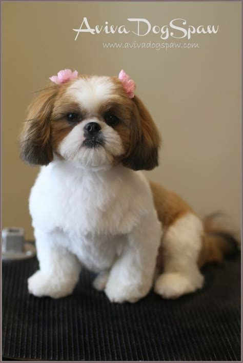 shih tzu with cut shih tzu puppy after grooming teddy trim puppy cut