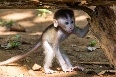 Affe Als Haustier affe als haustier eine gute idee deko feiern zenideen