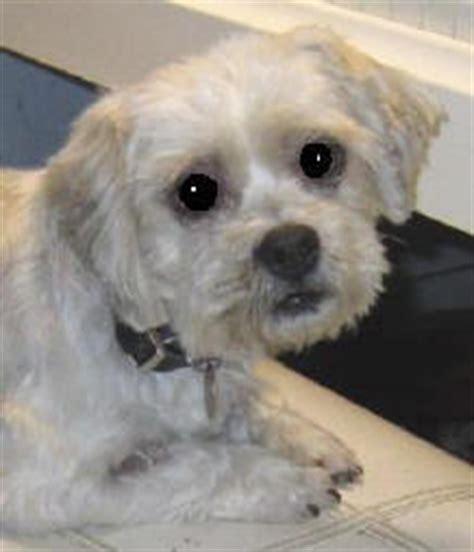 maltese terrier x shih tzu rescued pets