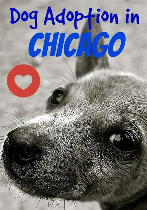 puppies for adoption in chicago your guide to adoption in chicago dogvills