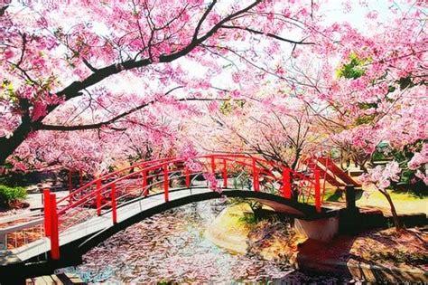 wallpaper bunga sakura terindah foto pemandangan bunga sakura terindah di jepang terbaru