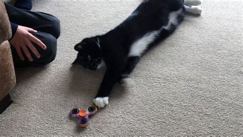 Bonefade Fidget Spinner this cat join in with the fidget spinner craze gazette live
