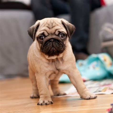 about pugs as pets pet pug tablet wallpapers 1024 06 catch cool and puppy images litle pups