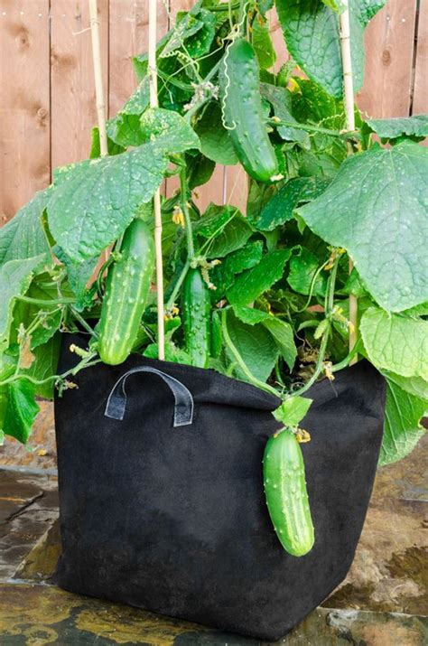 Indoor Vegetable Container Gardening - guide for growing cucumber in containers acegardener