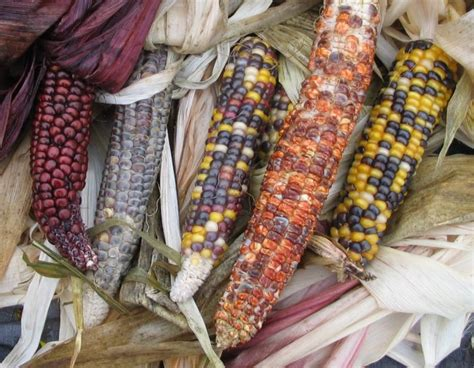 Decorative Corn by Pictures Of Pumpkins Gourds And Ornamental Corn