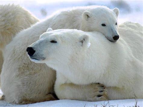 imagenes animales polares osos polares en peligro de extincion youtube