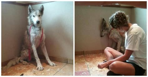 the wolf and the house dog neglected wolf dog finally returns home to the wild and