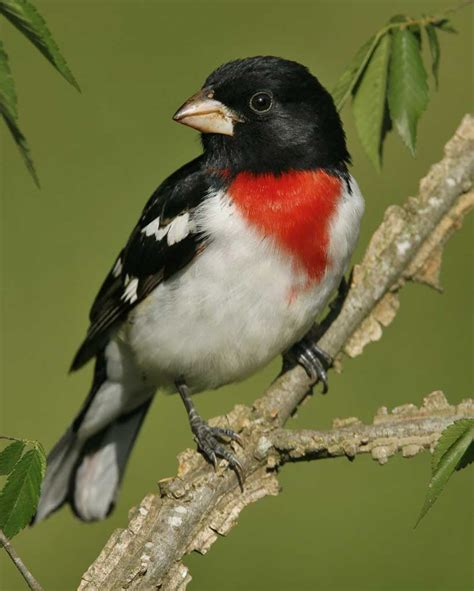 rose breasted grosbeak audubon field guide
