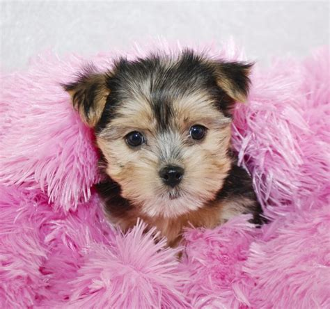 maltese yorkie grown yorkie maltese mix information cuteness
