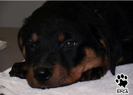 rottweiler rescue houston rottweiler rescue 200 merry photo