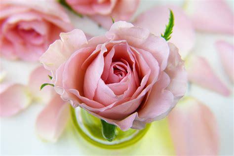 bloemen liefde gratis foto bloem steeg liefde bloemen gratis