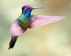 hummingbird colors ken conger photography costa rica 4 12
