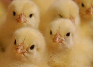 Bibit Ayam Broiler jenis jenis strain ayam broiler atau pedaging ilmu ternak
