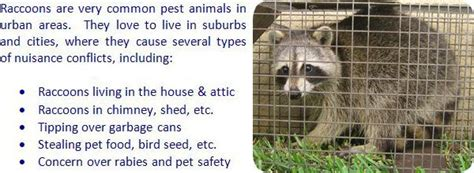 how to prevent raccoons in backyard 17 best images about gardening on pinterest gardens