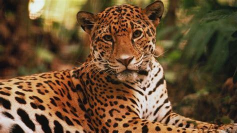 imagenes del jaguar animal senderos del jaguar bahia tours