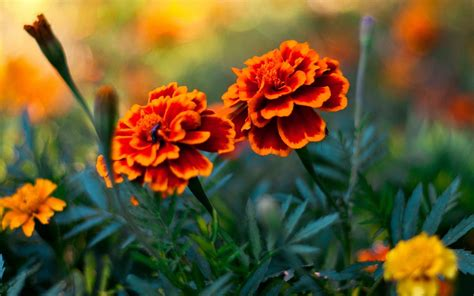marigolds shade how to keep mosquitoes and flies out of your garden