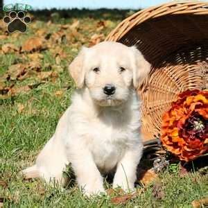 doodlebugs lancaster ny miniature labradoodle puppies for sale in de md ny nj