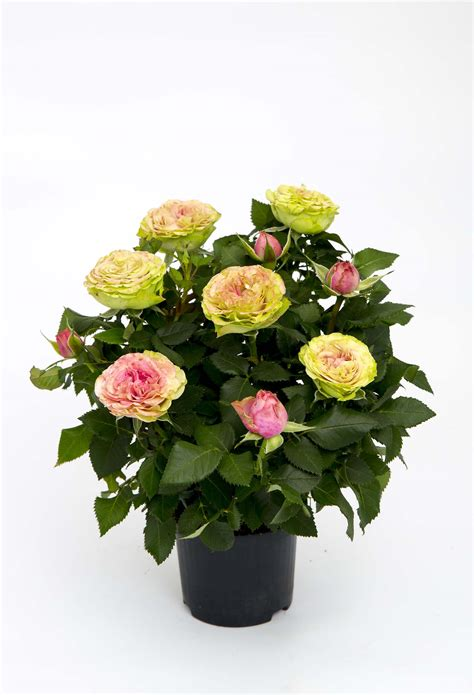 infinity evergreen rosa aps