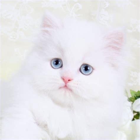 White Persian Kittens   White Persian Cats   Pure White