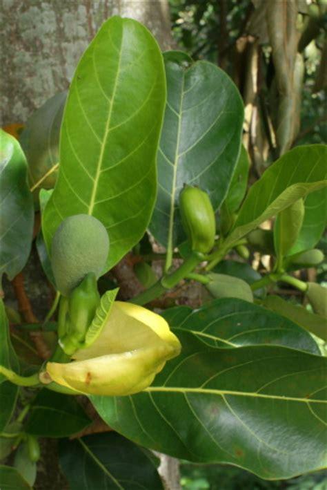 imagenes de jackfruit fruta jaca o jackfruit