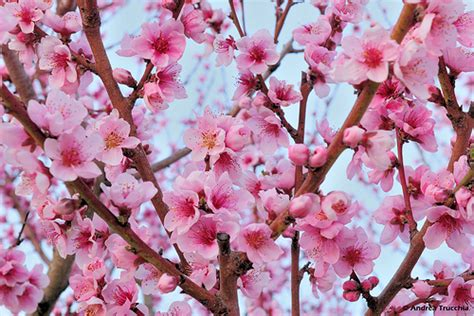 bouquet fiori di pesco cosanto monte cremasco monte cremasco la