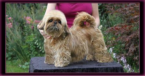 santosha shih tzu santosha susaki chien de race toutes races en tous departements inscrit sur