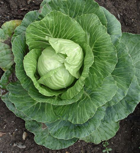 Stonehead Cabbage: Split Resistant Medium Size Heads